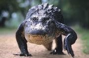 Ferocity Posters - American Alligator Walking On A Trail Poster by Philippe Henry