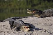 Hunt Metal Prints - American Alligators Alligator Metal Print by Raymond Gehman