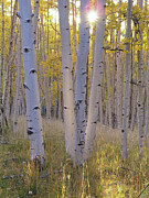 Autumn Woods Posters - American Aspen Trees In Autumn Color Poster by Greg Dale