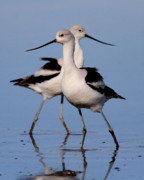 Ibis Posters - American Avocet Ballet . 7D4855 Poster by Wingsdomain Art and Photography