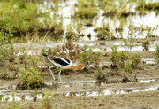 Pond Photography Photos - American Avocet by James Steele