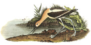 Shorebird Paintings - American Avocet by John James Audubon