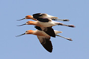 Phil Lanoue Acrylic Prints - American Avocets Acrylic Print by Phil Lanoue