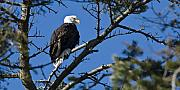Bald Eagle Framed Prints - American Bald Eagle Framed Print by Chad Davis