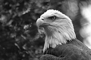 Eagle-eye Metal Prints - American Bald Eagle Metal Print by David Rucker