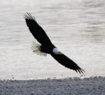 Alaskan Bald Eagle Acrylic Prints - American Bald Eagle Gliding Near a River Acrylic Print by Clarence Alford