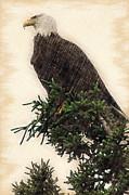 Dan Friend - American Bald Eagle in tree