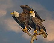 National Symbol Posters - American Bald Eagle Pair Poster by Larry Linton