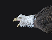 Screaming Posters - American Bald Eagle Poster by Paul Ward