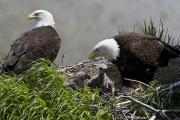 Juvenile Birds Posters - American Bald Eagles, Haliaeetus Poster by Roy Toft