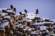 Roosting And Resting Posters - American Bald Eagles  Perch On A Stack Poster by Klaus Nigge