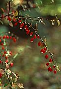 Pennsylvania Art - American Barberry with Raindrops by Anna Lisa Yoder