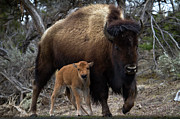 Calf Prints - American Bison And Calf Print by Rob Daugherty - RobsWildlife.com