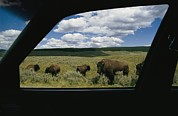 Refuges And Reserves Posters - American Bison Bison Bisonphotographed Poster by Raymond Gehman