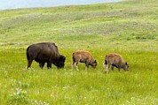 Bison Photos - American Bison, Canada by Bob Gibbons