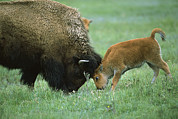 Bison Photos - American Bison Cow And Calf by Suzi Eszterhas