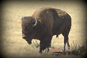 State Of South Dakota Posters - American Bison Poster by Dakota Light Photography by Nadene