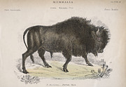 Bison Digital Art - American Bison by Hulton Archive
