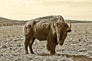 Southwest Oklahoma Framed Prints - American Bison in Gold Sepia - Left View Framed Print by Tony Grider