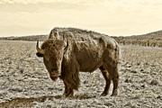 Bison Digital Art Metal Prints - American Bison in Gold Sepia- Right View Metal Print by Tony Grider