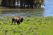 Bison Photos - American Bison in the Lamar Valley by Louise Heusinkveld