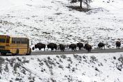 Winter Roads Prints - American Bison In The Road Halt Traffic Print by William Allen