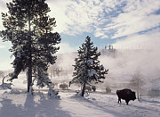American Bison Prints - American Bison In Winter Yellowstone Print by Tim Fitzharris