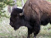 American Bison Photo Originals - American Bison by Jerilyn Davis