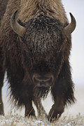 Bison Bison Prints - American Bison Portrait In Snow North Print by Tim Fitzharris