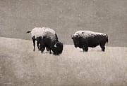 American Bison Print by Ron Jones