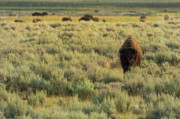 American Bison Photo Prints - American Bison Print by Sebastian Musial