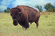 American Bison Print by Tamyra Ayles