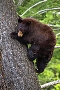 Climbing Metal Prints - American Black Bear Metal Print by Rob Daugherty - RobsWildlife.com