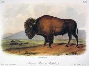 Flk Framed Prints - American Buffalo, 1846 Framed Print by Granger