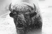 Scott Hovind - American Buffalo 4