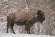 Bison Photos - American Buffalo In The Snow by Richard Nowitz