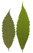 Tree Leaf Posters - American Chestnut Poster by Ted Kinsman