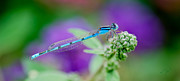 Flower Buds Prints - American Common Blue Damselfly Print by Betty LaRue