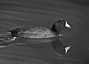 American Coot Print by  Bob and Nadine Johnston