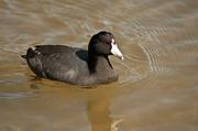 Dance In Water Prints - American Coot Print by Daniel Hebard