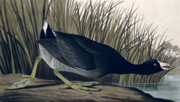 John James Audubon (1758-1851) Paintings - American Coot by John James Audubon