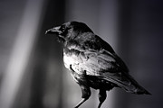 American Crow Photos - American Crow by C E Dyer