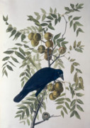 Fruit Drawings Posters - American Crow Poster by John James Audubon