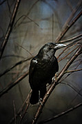 Black Bird Prints - American Crow Print by Lois Bryan