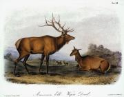 Lithograph Framed Prints - American Elk, 1846 Framed Print by Granger