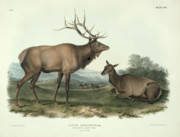 Horns Posters - American Elk Poster by John James Audubon