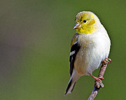Ray Downs - American Finch