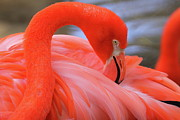 Flamingos Prints - American Flamingo Print by Bruce J Robinson