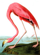 Pink Painting Prints - American Flamingo Print by John James Audubon