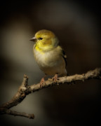 Song Bird Photos - American Gold Finch by Lana Trussell